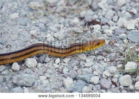 Yellow Rat Snake in Florida Wetlands