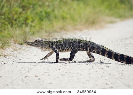 Young Alligator Crossing the Road