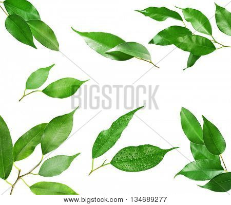 Set of tree branches with fresh green leaves, isolated on white background