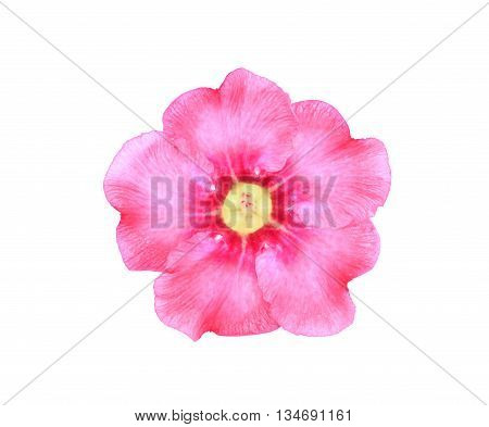 Single azalea flowers isolated on white background