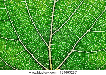 Leaf background Close up view of green leaf and leaf veins