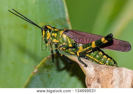 Yellow and green grasshopper preparing to jump out