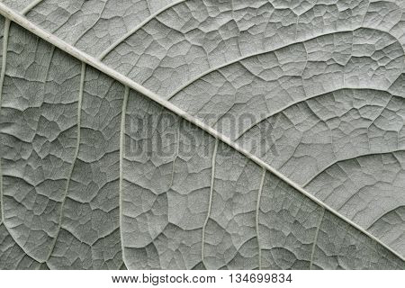 texture of a surface of a leaf of a plant with streaks closeup for a abstract natural natural background or for wallpaper of old color