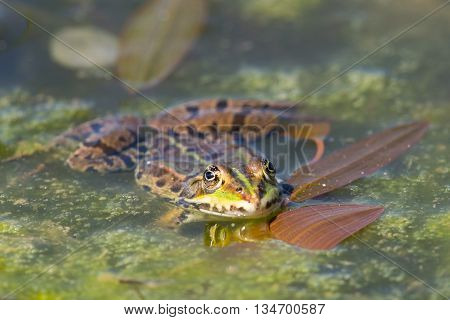 common water frog (Rana kl. esculenta) in the water
