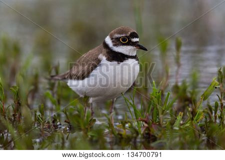 little ringed plover walking in wetland in a green environment