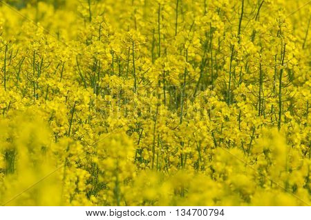Many yellow blooms of a canola field