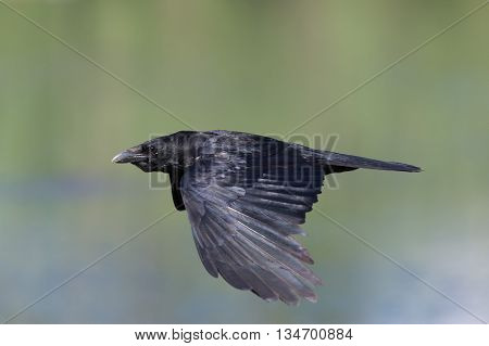 carrion crow during flight with full speed