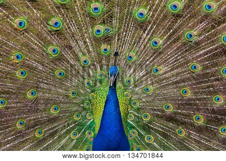 Colorful feathers of male peacock during mating