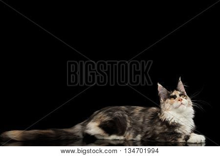 Maine Coon Cat Lying and Curious Looking up Isolated on Black Background, Side view