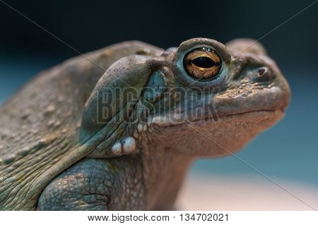 Detailed portrait of colorado river toad with smooth background