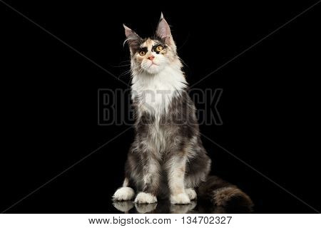 Maine Coon Cat Sitting and Curious Looking in Camera Isolated on Black Background, Front view