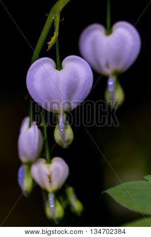 blooms of bleeding heart flower with dark bakground