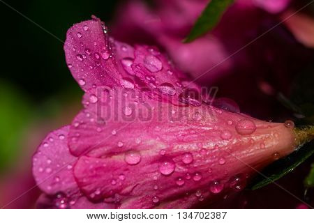 pink bloom of rhododendron with water drops