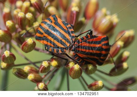 Graphosoma lineatum on plants in the summer garden