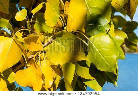 Bright yellow poplar leaves with blue water on the background. Autumn foliage on sunny day against blue on the background. Selective focus