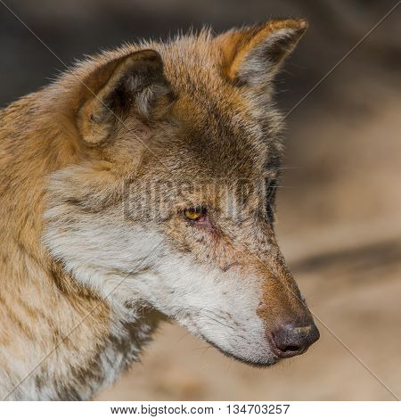 natural portrait of a wolf in sun