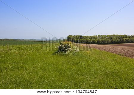 Conservation in the landscape with wildflowers growing by a hawthorn hedgerow between arable fields on the Yorkshire wolds.