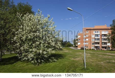Trees in bloom, park and apartments. Green lawn and walkway in the summer morning.