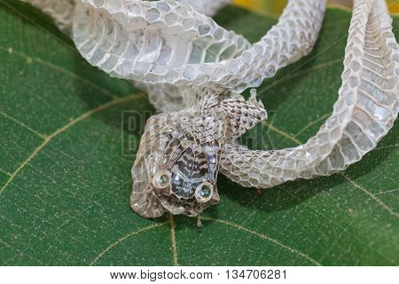 The Snake molt on the green Leaves