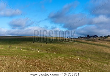Agriculture summer rural landscape with farm animals. Australian green grass outback pasture against blue sky. Copy space