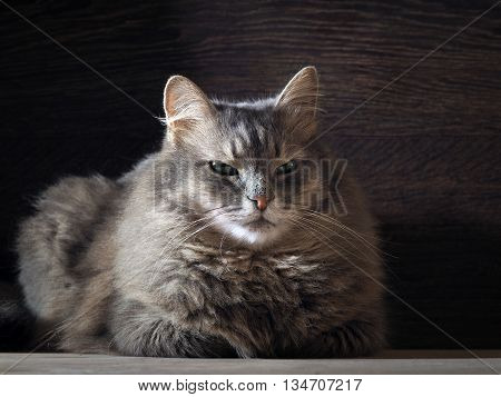 Portrait of a very large and fluffy cat. Cat looking out of the darkness. Eyes are green. Cat close