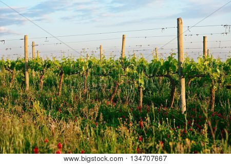 Organic vineyard in Tuscany, Italy, biodiversity promoted, almost no chemicals used