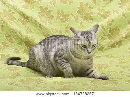 Cat on green background, cat at home,funny cat, domestic animal, grey serious cat in blurry background, portrait of cat. Playful cat on green background, playing cat. Cat ooking to the top