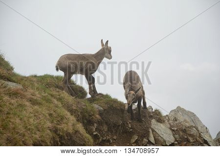 Two young chamois in fog on meadow in Tatra mountains