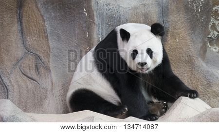 Panda Bear Animal Sitting And Relaxing