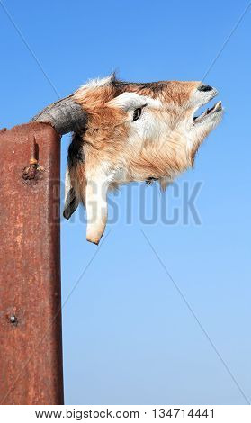 Head of dead goat on metal pole against blue sky