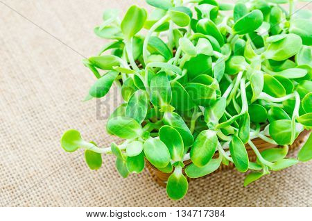 green young sunflower sprouts on sack background.