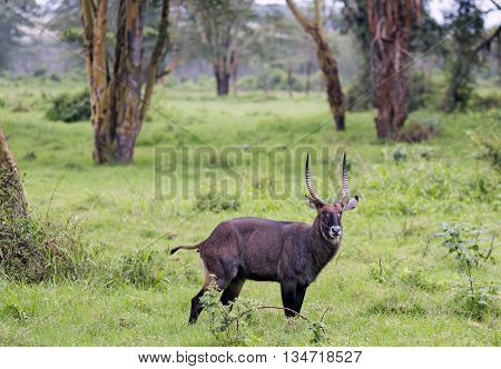 Waterbuck bull (Kobus ellipsiprymnus) in Maasai Mara National Park, Kenya, Africa