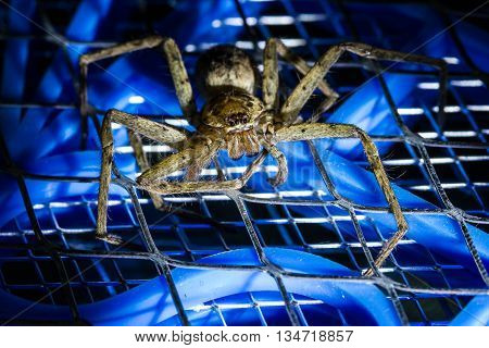 Brown huntsman spider on electric mosquito bat