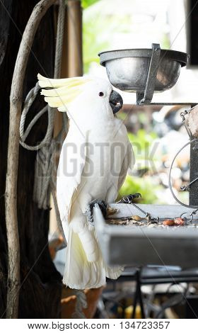 White Parrot  Bound With Chains At House