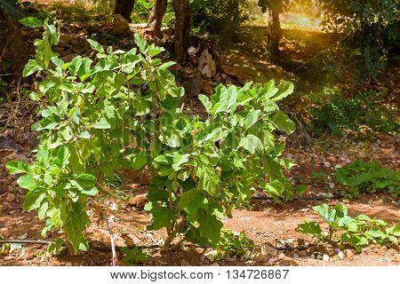 Large ripe eggplants grow on green bushes in garden. Resort village Bali Rethymno Crete Greece