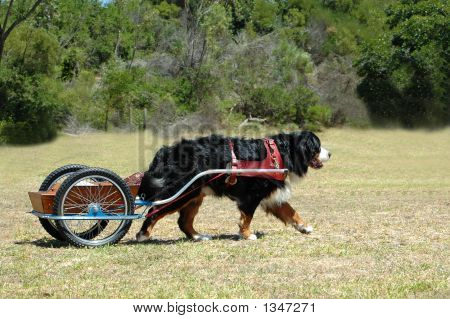 Bernese Mountain Dog Carting