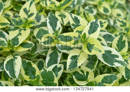 Variegated Chinese violet, Asystasia sp., Family Acanthaceae, Central of Thailand