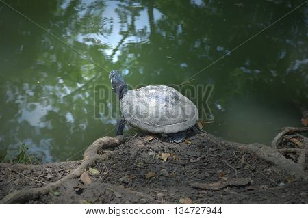 Turtle, Class Reptilia, at the pond side from central of Thailand