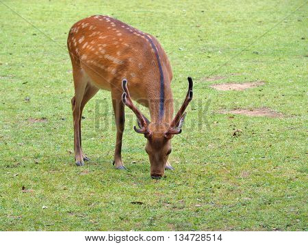 male deer eat grass on green field.
