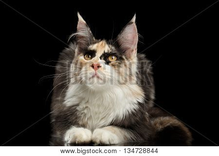 Maine Coon Cat Lying and Curious Looking up Isolated on Black Background, Front view