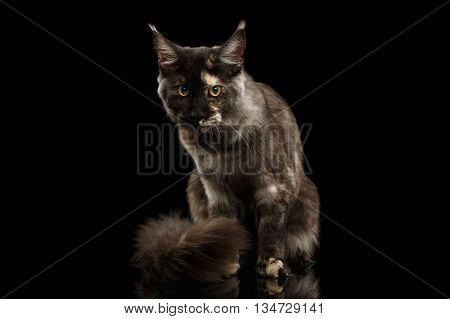 Maine Coon Cat Sitting with Furry Tail and Looks Grumpy Isolated on Black Background, Front view