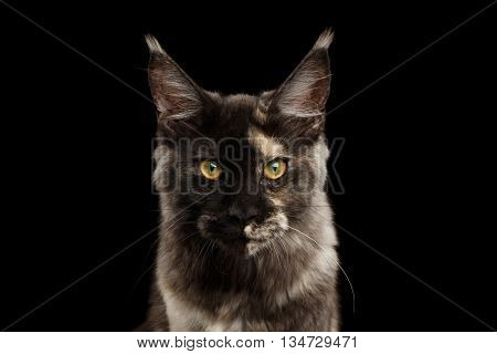 Closeup portrait of Maine Coon Cat Lookis Angry in Front view Isolated on Black Background
