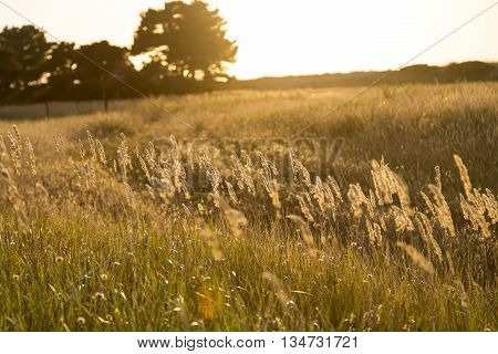 Backlit Shot Of A Meadow At Sunset For Backgrounds