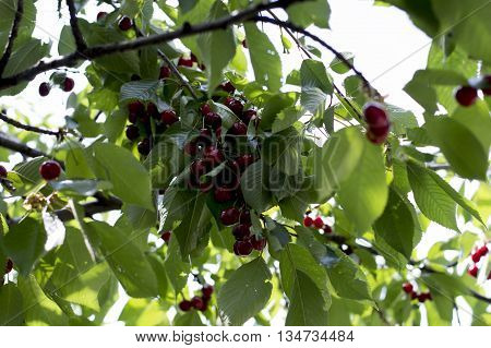 branch of ripe red sweet cherry subject fruit and berries