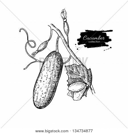 Cucumber plant hand drawn vector. Vegetable engraved style illustration. Isolated cucumber on branch with leaf and flower. Detailed botanical drawing. Farm market product.