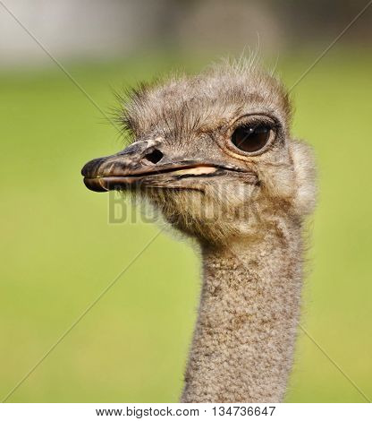 Close up of Ostrich with big eyes