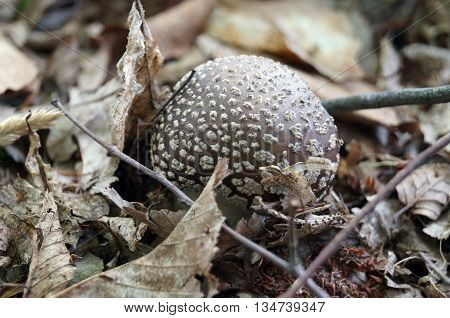 Cap gray mushroom in a white dot in the fallen leaves in the forest