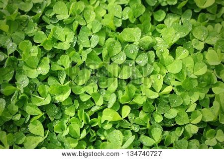 Fresh green abstract background with clover leaves