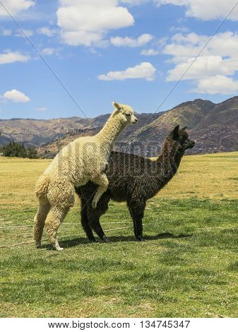 Black and white llama reproducing in Sacsayhuaman, Cusco, Peru