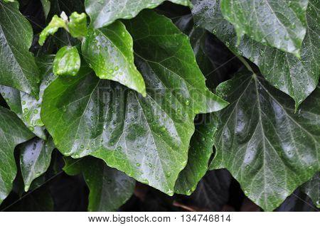 Rain green leaf close up photo background